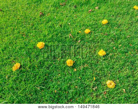Marigold on the grass in the park / Green background