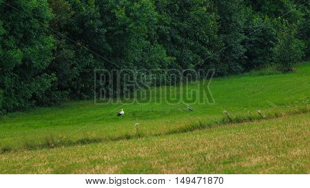The stork and the heron walking across the meadow in search of food.