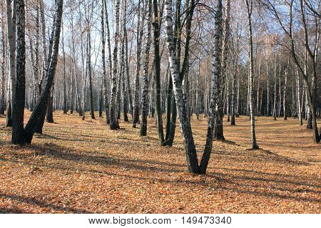 Autumn birch grove in cloudy weather, beautiful landscape in the park