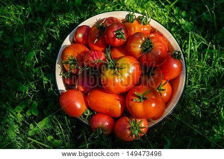 Fresh tomatoes gathered in a vegetable garden