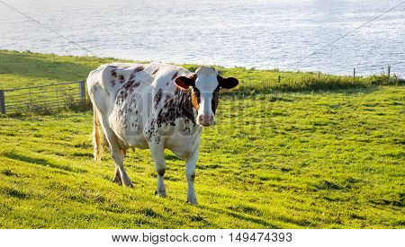Red spotted young white cow standing in the grassland along a river on a sunny in the beginning of the fall season.