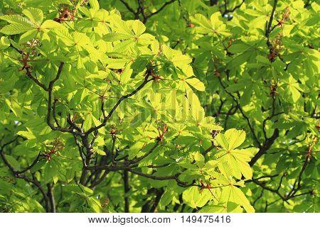 Green Buckeye Tree Background