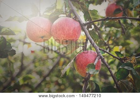 Red ripe apples branch on tree. Closeup of fresh organic apples with green leaves. Sunny autumn garden in village. Growing seasonal fruits, harvest at farm, agricultural concept