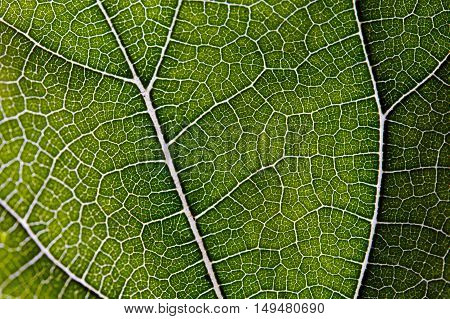 Leaf texture abstract background with closeup view on veins
