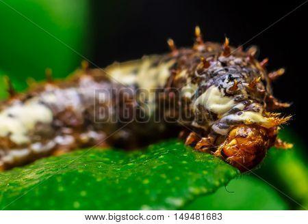 Macro close up Brown worm. Caterpillars eat leaves
