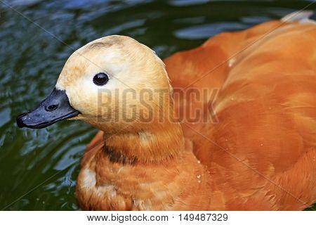 Ruddy shelduck Portrait birds, ducks, birds that live in the garden, golden feather