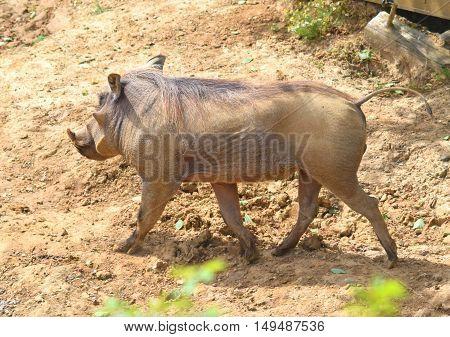 warthog pig animal walking in the dessert