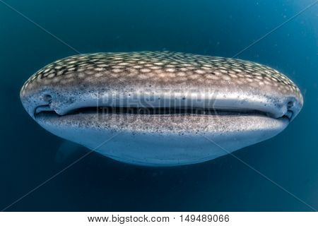 Whale Shark Open Mouth Close Up Portrait Underwater