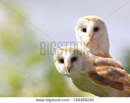 pair of barn owl birds close up looking