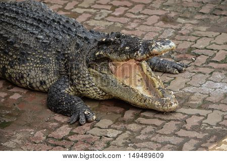 Freshwater crocodile or alligator or crocodile swamp freshwater species are native to Thailand in Vietnam Cambodia Laos Thailand Kalimantan Java and Sumatra is quite a big medium sized crocodile.