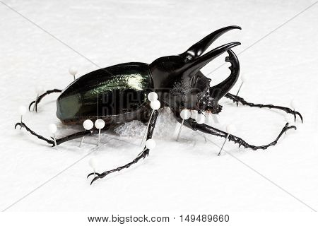 Dried Three-Horned Beetle (Chalcosoma caucasus) Dry Preservation Beetle on white background