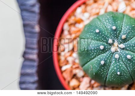 Small Cactus In Flower Pots With Cofee Bean