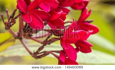 Bunch of red frangipani plumeria flowers on sunny day, close up.