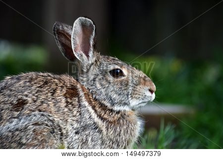 Cottontail rabbit (Sylvilagus floridanus) against grass and fence