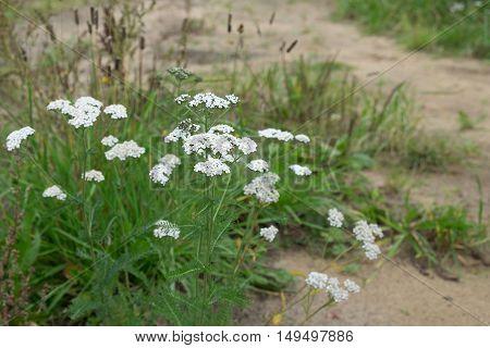 Medicinal Plant Siberian Yarrow - Achillea Millefolium .