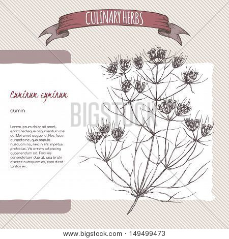 Cuminum cyminum aka Cumin vector hand drawn sketch. Culinary herbs collection. Great for cooking, medical, gardening design.