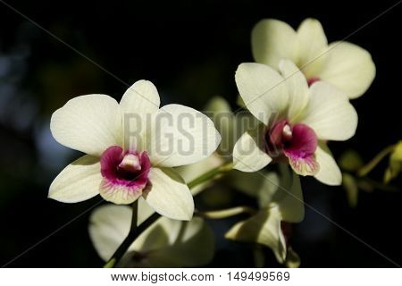 Close up Yellow and soft Pink orchid flower