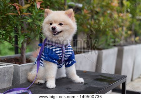 Pomeranian Dog Puppy Cute Cute Pet Happy Friendly