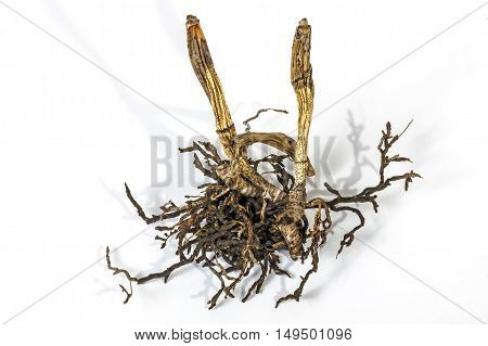 Dead Dry Pseudobulbs And Roots Of A Cattleya Orchid