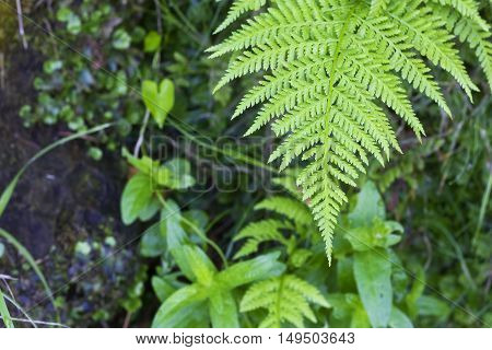 Closeup image of a fern limb view from above (Pteridium aquiline).