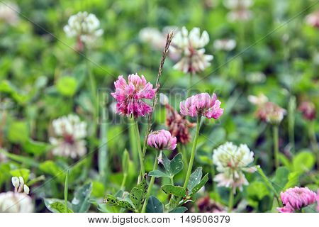 Trifolium pratense or the red clover flowers buds closeup in summer