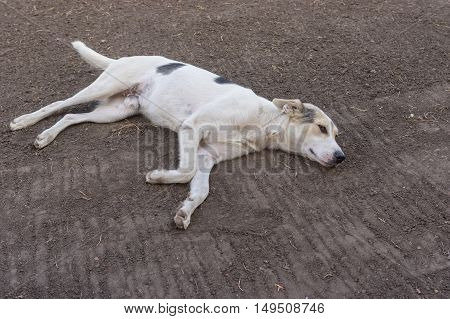 White mixed breed dog having rest lying on the earth
