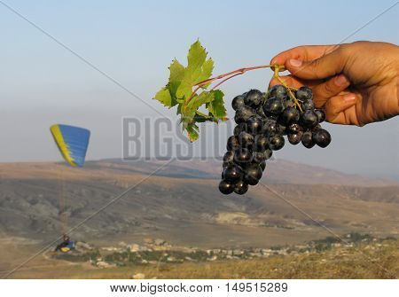 Branch of blue grapes in hand on background paraglider