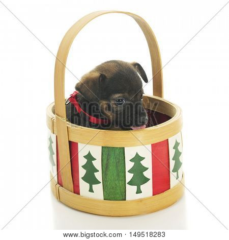 Ad adorable puppy in a Christmas basket.  On a white background.