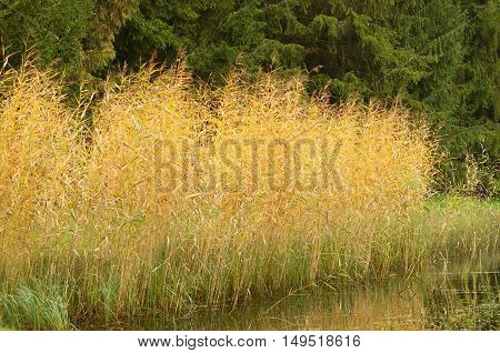 Reeds on the shore of the lake.In autumn it has beautiful color.