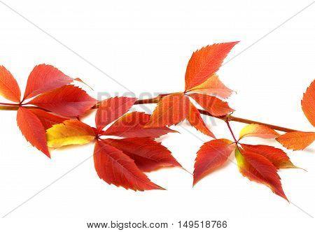 Red Autumnal Branch Of Grapes Leaves (parthenocissus Quinquefolia Foliage)