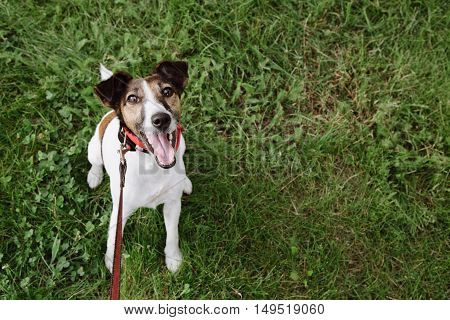 fearless funny smiling fox terrier look at camera on the green grass background Top view.