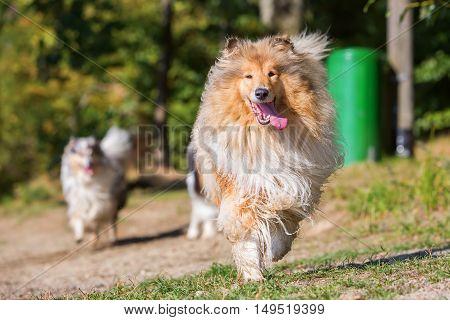 Beautiful Collie Dog Running Outdoors