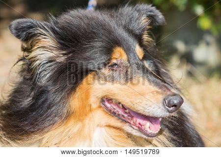 Face Closeup Of A Collie Dog