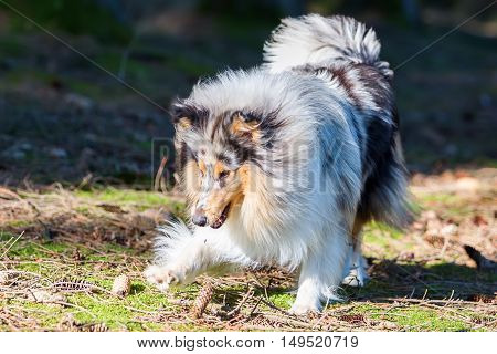 Blue Merle Collie Dog In The Forest