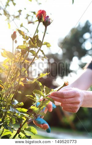 Cutting the rose canes. Care work in the garden. How to care for roses?