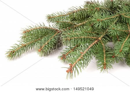 fir-tree branch isolated on a white background.