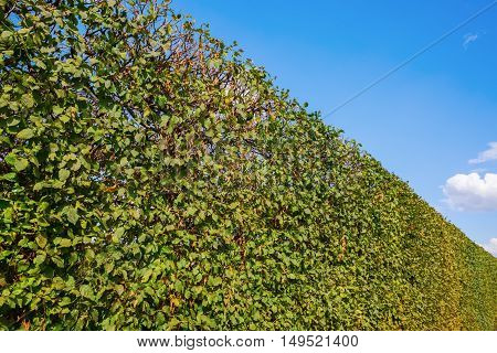 Common Hornbeam Hedge And Blue Sky