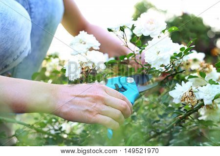 Cutting the rose canes. Care work in the garden.Gardener pruning shears cut shrubs roses