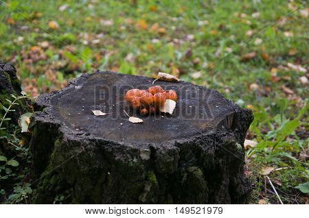 group of fungi on a rotten tree stump