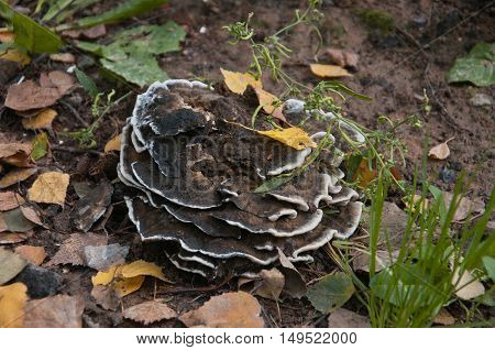 big old multileaf mushroom with white border
