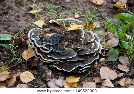 multileaf mushroom with a white border. rising out of the ground. yellowing leaves