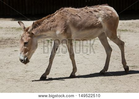 Persian onager (Equus hemionus onager), also known as the Persian wild ass. Wildlife animal.