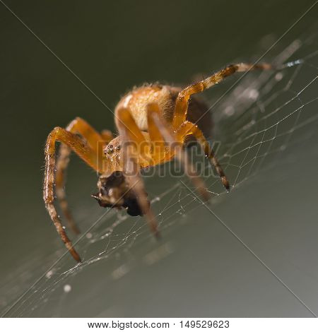 A spider in its web is wrapping a newly caught fly