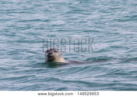 A seal is swimming in blue water, closing one eye while looking at the camera