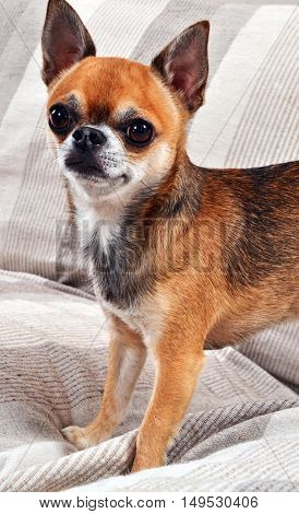Chihuahua puppy dog portrait on sofa.