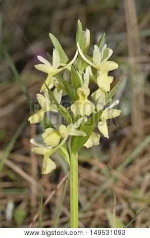 Roman Orchid - Dactylorhiza romana Yellow Orchid in Cyprus Pine Forest
