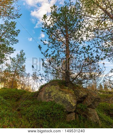 Pine growing through the stone.Tundra in the Arctic circle