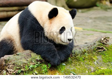 Giant Panda in a  Deep Thinking Pose, Chengdu, Szechuan, China