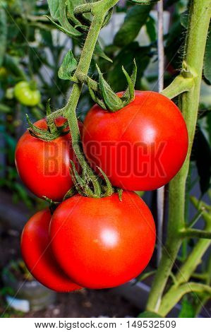 Ripe red tomato growing in vegetable garden. Tomato growing in open ground. Healthy food concept.