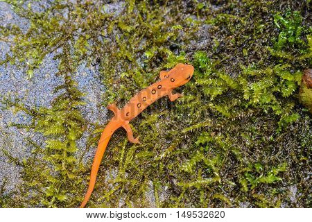 The Red Eft. It is the juvenile stage of the Eastern Newt  (Notophthalmus viridescens)